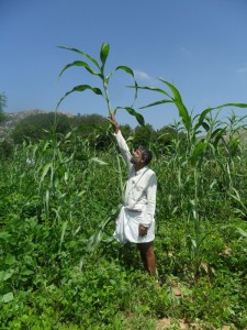 Dinesh (Earth 360) demonstrating the height of a traditional bi-color variety of Sorghum (సీతమ్మ జొన్న) in a farm in Mandavarapalli, Chittoor Dt., AP. on Oct 19th, 2015.