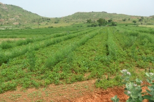 A mixed crop farm near kadiri