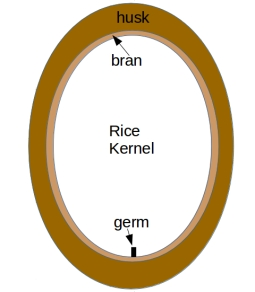 A sketch showing the different parts of a typical husked cereal grain